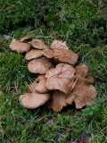 Örsopp (Suillus bovinus)