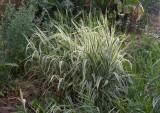 Randgräs (Phalaris arundinacea)