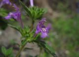 Mjukdån (Galeopsis ladanum)
