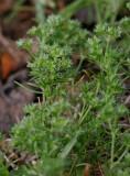 Tuvknavel (Scleranthus annuus ssp. polycarpos)