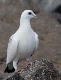 Rock Dove (Columba livia domestica)