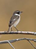 Canary Island Stonechat (Saxicola dacotiae)