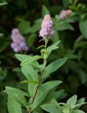Häckspirea (Spiraea salicifolia)