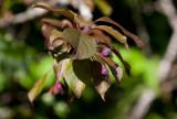 Purpurapel (Malus × purpurea)