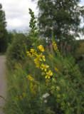 Luktsmåborre (Agrimonia procera)