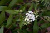 Praktspirea (Spiraea japonica)