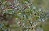 Rosenoxbär (Cotoneaster dielsianus)