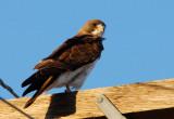 Swainson´s Hawk (Buteo swainsoni)