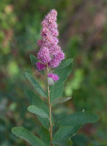 Douglasspirea (Spiraea douglasii)