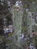 Ringlav (Evernia divaricata)