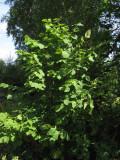 Bohuslind (Tilia platyphyllos ssp. cordifolia)