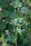 Rosenhagtorn (Crataegus × media)