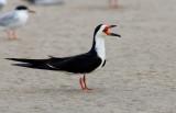 Black Skimmer (Rynchops niger)