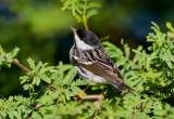 Blackpoll Warbler (Dendroica striata)