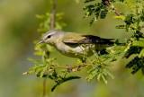 Tennesse Warbler (Vermivora peregrina)