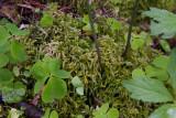 Hasselmossa (Eurhynchium angustirete)