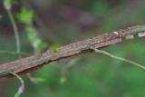 Vingbenved (Euonymus alatus)