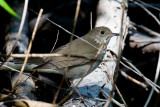 Gray-cheeked Thrush (Catharus minimus)