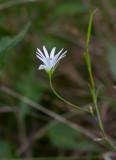Kärrstjärnblomma (Stellaria palustris)