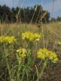 Hedblomster (Helichrysum arenarium)