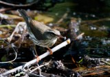 Louisiana Waterthrush (Seiurus motacilla)