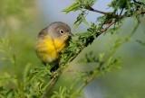 Nashville Warbler (Vermivora ruficapilla)