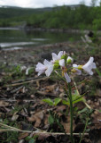 Polarbräsma (Cardamine pratensis ssp. polemonioides)