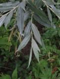 Silverpil (Salix alba f. Sericea)