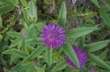Alpklöver (Trifolium alpestre)
