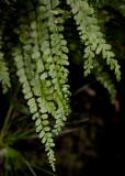Brunbräken (Asplenium adulterinum)
