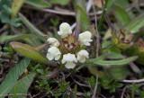 Flikbrunört (Prunella laciniata)
