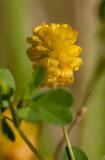 Jordklöver (Trifolium campestre)