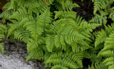 Kalkbräken (Gymnocarpium robertianum)