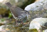 Northern Waterthrush (Seiurus noveboracensis)