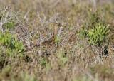 Upland Sandpiper (Bartramia longicauda)
