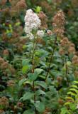 Fontenayspirea (Spiraea × fontenaysii)