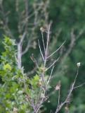 Rufous-capped Warbler (Basileuterus rufifrons)