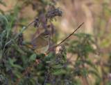 Radde´s Warbler (Phylloscopus schwarzi)