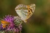 Silverstreckad pärlemorfjäril ((Argynnis paphia)