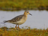 Buff-breasted Sandpiper (Tryngites subruficollis)