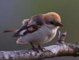 Woodchat Shrike (Lanius senator niloticus)