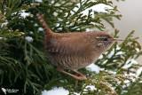 Troglodytidae - Wrens