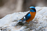 Blue-capped Rock-thrush (Monticola cinclorhynchus)