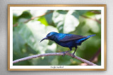 Purple sunbird(Cnnyris asiatica)female