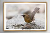 Timaliidae - Babblers, Parrotbills