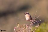 Prunellidae - Accentors