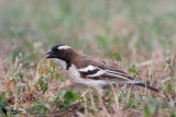White-browed Sparrow-Weaver (Plocepasser mahali)