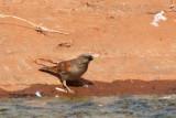 Northern Grey-headed Sparrow (Passer griseus)