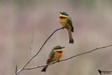 Little Bee-eater (Merops pusillus)