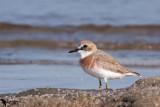 Lesser Sand Plover (Charadrius mongolus)